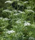 Planten en hun legenden-948